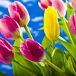Yellow and red tulips on a blue background — Stock Photo