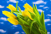 Yellow tulips on a blue background — Stock Photo
