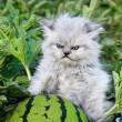 Unhappy with the kitten and watermelon. — Stock Photo