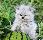 Yavru kedi ve karpuz ile mutsuz. — Stok fotoğraf