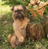 Obedient dogs are mushrooming. — Stok fotoğraf