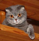 Ojos de gato con el color del ámbar. — Foto de Stock