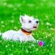 Attentive West highland white terrier with ball dog toy — 图库照片