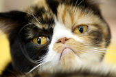 Grumpy facial expression Exotic tortoiseshell cat — Stock Photo