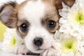 Adorable Chihuahua puppy — Stock Photo
