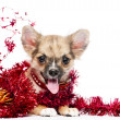 Happy Chihuahua puppy in a frame of shining red tinsel — Stock Photo