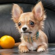 Chihuahua puppy with native Indian necklace and lemon — Stock Photo