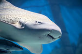 Zebra shark or Leopard shark close-up with suckerfishes — Foto Stock