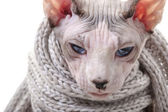 Serious Canadian Sphynx cat with winter knitted scarf — Stock Photo