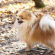 Red German spitz dog  — Stock Photo