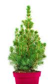 Fir-tree in red pot — Photo