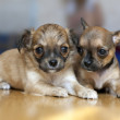 Two small Chihuahua puppies lying on floor — Stock Photo #33895463