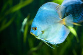 Blue Diamond Discus (Symphysodon aequifasciatus) — Stock Photo