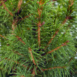 Branches of fir tree close-up — 图库照片