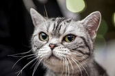 American Shorthair cat close-up portrait — Stock Photo