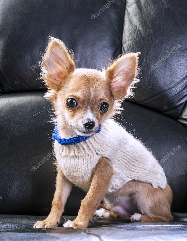 cute chihuahua puppy wearing white knitted sweater stock photo niknikpo 33941489. Black Bedroom Furniture Sets. Home Design Ideas