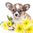 Cute chihuahua puppy with golden chrysanthemums — Stock Photo #34031297