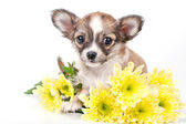 Cute chihuahua puppy with golden chrysanthemums — Stock Photo