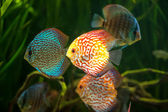 Flock of colorful Discus — Stock Photo