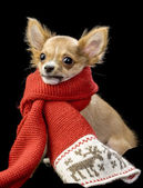 Funny Chihuahua wrapped in bright winter scarf — Stock Photo
