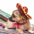 Chihuahua puppy wearing Mexican hat and red collar  — Stock Photo