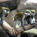Постер, плакат: Redtail monkey