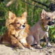 Chihuahua dog and puppy — Stock Photo