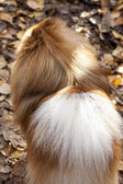 German spitz dog close-up on autumn leaves — Stock Photo
