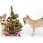 Chihuahua puppies decorating Christmas tree — Stock Photo #34363573