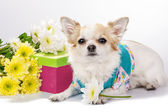 Beautiful Chihuahua dog with gift box and flowers — Stock Photo