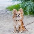 Happy chihuahua dog sitting on beach sand — Stock Photo