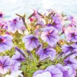 Petunia flowers close-up — Stock Photo