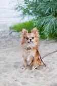 Happy chihuahua dog sitting on beach sand — Stock Photo