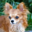 Magnificent red chihuahua dog portrait — Stock Photo