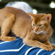 Abyssinicat at cat show — Stock Photo #34761699