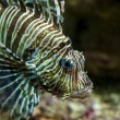 Common Lionfish or Devil firefish  close-up  — Stock Photo