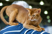 Abyssinian cat at cat show — Stock Photo