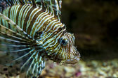 Commune rascasse volante ou diable firefish gros plan — Photo