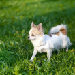 Chihuahua dog going towards sunset — Stock Photo