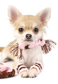Nice chihuahua puppy with knitted set isolated — Stock Photo