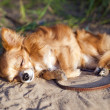 Stock Photo: Chihuahudog dozing at beach