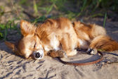 Chihuahua dog dozing at beach — Stock Photo