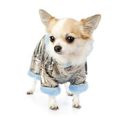 Chihuahua dressed in silver winter coat — Stock Photo