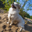 Happy Chihuahua dog enjoying sun — Stock Photo