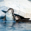 Pair of playful penguins in Moscow oceanarium — Stock Photo