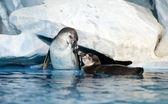 Pair of playful penguins in Moscow oceanarium — Stock Photo