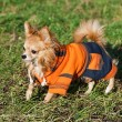 Stock Photo: Chihuahudog wearing bright orange jumpsuit