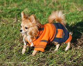Chihuahua dog wearing bright orange jumpsuit — Stock Photo