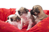 Litter of small chihuahua puppies in a red pet bed — Stock Photo