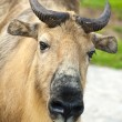 Sichuan takin close-up — Stock Photo
